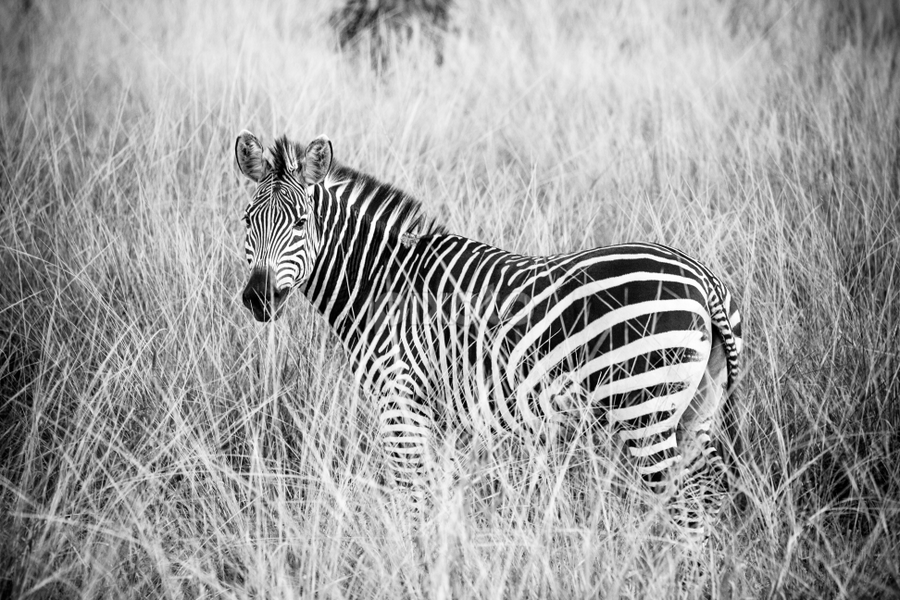 Blending in by Werner Booysen - Animals Other Mammals ( wild animal, wilderness, nature, black and white, nature and wildlife, zambia, safari, wildlife, nature photography, zebra, werner booysen, , animal )
