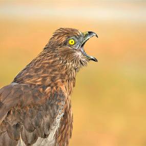 Marsh harrier calling by Prasanna AV - Animals Birds