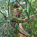 Black Swallowtail caterpiller