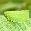 Green Mottled Planthopper