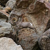 Borrego Bighorn Ram