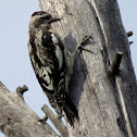 Red-naped Sapsucker (juvenile)