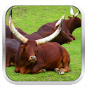Cattle Breeds: Types of Cattle icon