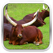 Cattle Breeds: Types of Cattle