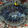 Allard's Clownfish with anemone