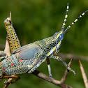 Immature Ak grasshopper