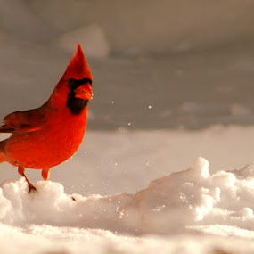 Proud Mr. Cardinal by Lee Grubbs Burke - Animals Birds ( roland, lag, lee, lgb, lab,  )