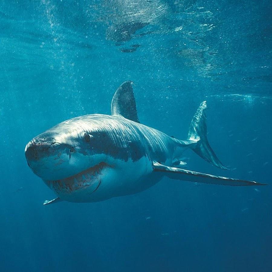 live shark wallpaper - photo #2