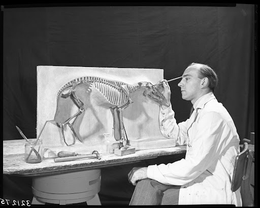 Preparing skeleton, Vertebrate Paleontology Laboratory, 1950
