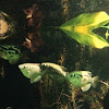 Banded Archerfish