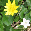 Celandine and Spring Beauty