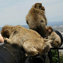 Monkeys from Gibraltar.