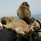 Monkeys from Gibraltar.