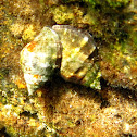 Boca roja. Red-mouthed rock shell