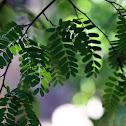 Pea tree