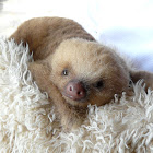 Hoffmann's Two-toed Sloth (juvenile)