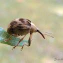 Gorgulho (Weevil)
