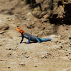 Agama: Red-headed Agama