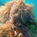 Western Clownfish
