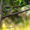 Plain colored seed-eater