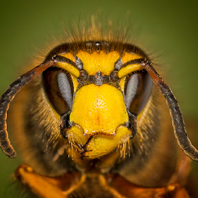 Portrait of a Wasp by Awais Khalid - Animals Insects & Spiders ( magnification, wild, macro, wasp, nature, brown, yellow, deep, portrait )