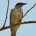 Benteveo rayado (Streaked flycatcher)