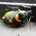 Orange and Black shield bug