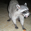 Mexican Racoon