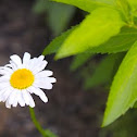 oxeye daisy, white