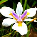 Large wild iris, fortnight lily