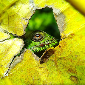 stalking by Hendrata Yoga Surya - Instagram & Mobile Android ( bunglon, green crested lizard, londok )
