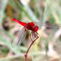 Ruddy (Scarlet) Marsh Skimmer (Male)