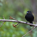 Blue-billed black tyrant (male)