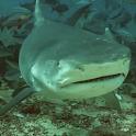 Real Sharks HD Live Wallpaper logo