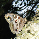 Mariposa  lechuza - Owl Butterfly