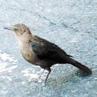 Brewers Black Bird ( Female)