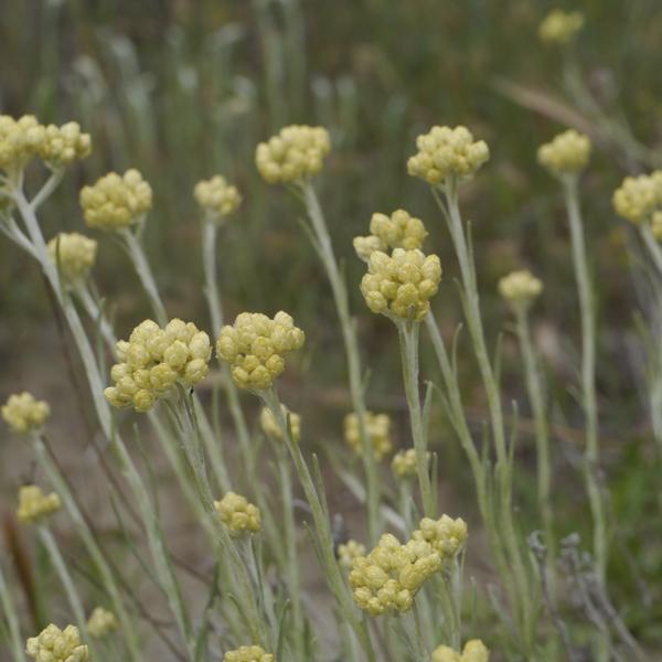 Goldilocks, Mittelmeer-Strohblume