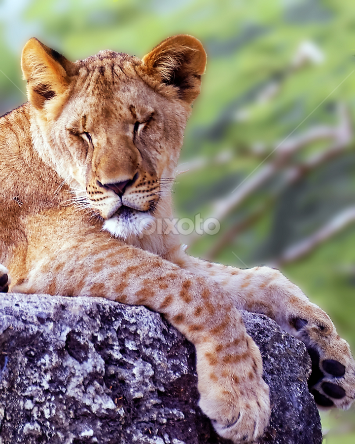 by Patrick Sherlock - Animals Lions, Tigers & Big Cats