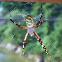 Wasp spider (長黄金蜘蛛)