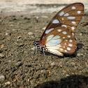 Leonidas swallowtail