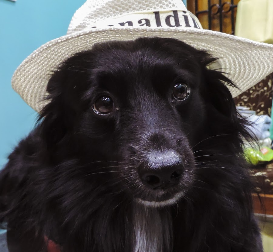 hat on a dog by Dip Banerjee - Animals - Dogs Portraits