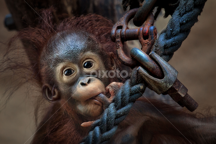Big Bolt by Michael Milfeit - Animals Other Mammals ( orang utan, schraube, bolt, rope, jungtier, screw, seil, menschenaffe, pongo, primat,  )