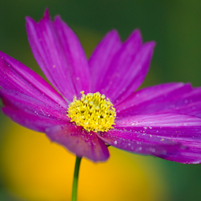 The Morning beauty by Mousam Ray - Nature Up Close Flowers - 2011-2013 ( nature, nature up close, cosmos., flower )