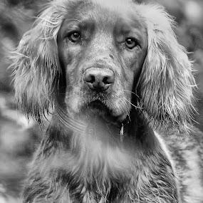 black and white edit sprocker by Sal Hosking - Animals - Dogs Portraits ( dogs, black and white, portrait )