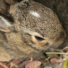 Eastern Cottontail Rabbit infant