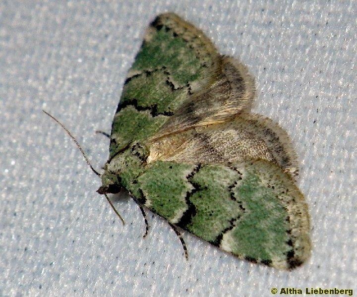 Geometridae, Larentiinae