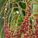 Periquito-rico (Plain Parakeet)