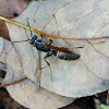 Red Spotted Wasp