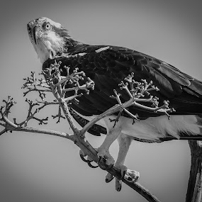 Top of the World by Jared Lantzman - Black & White Animals ( bird, bird of prey, black and white, wings, feathers, osprey,  )