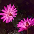 Pink Water Lily (Gulaabee Kumud)